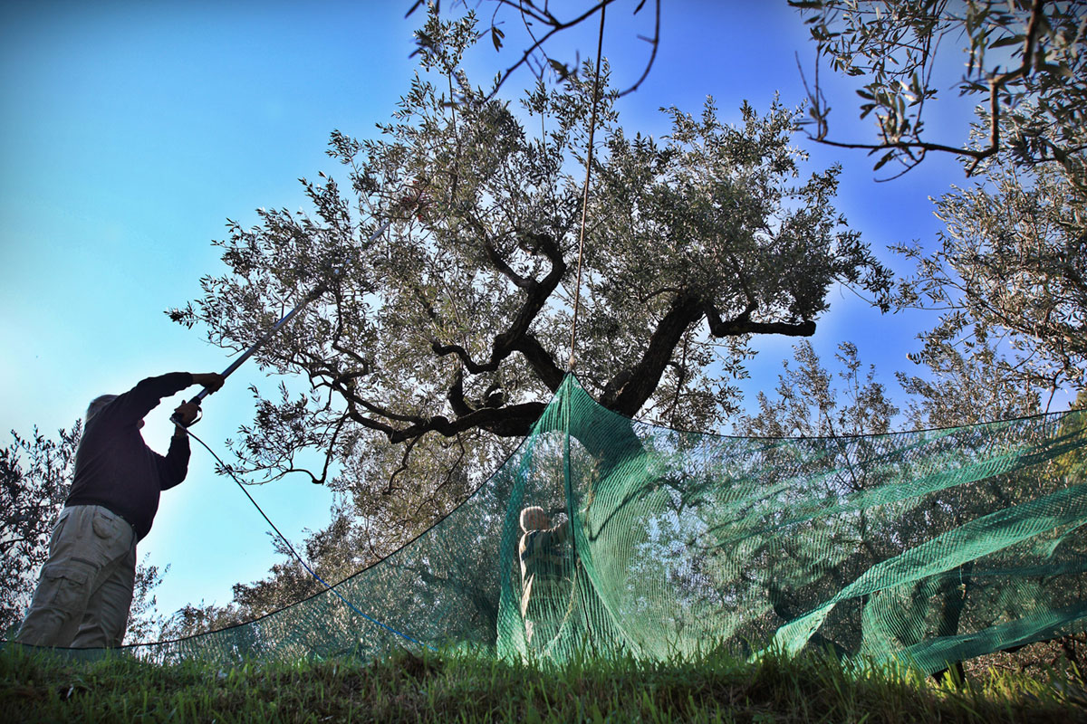 The Art of Producing Fine Extra Virgin Olive Oil | Olive Oil